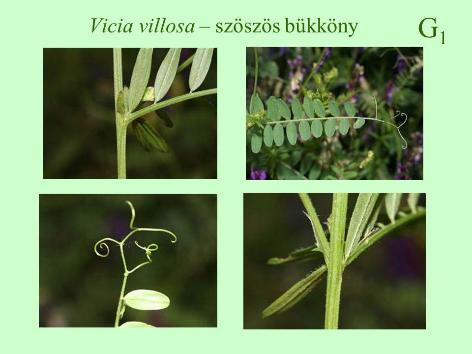 Vicia villosa – szöszös bükköny