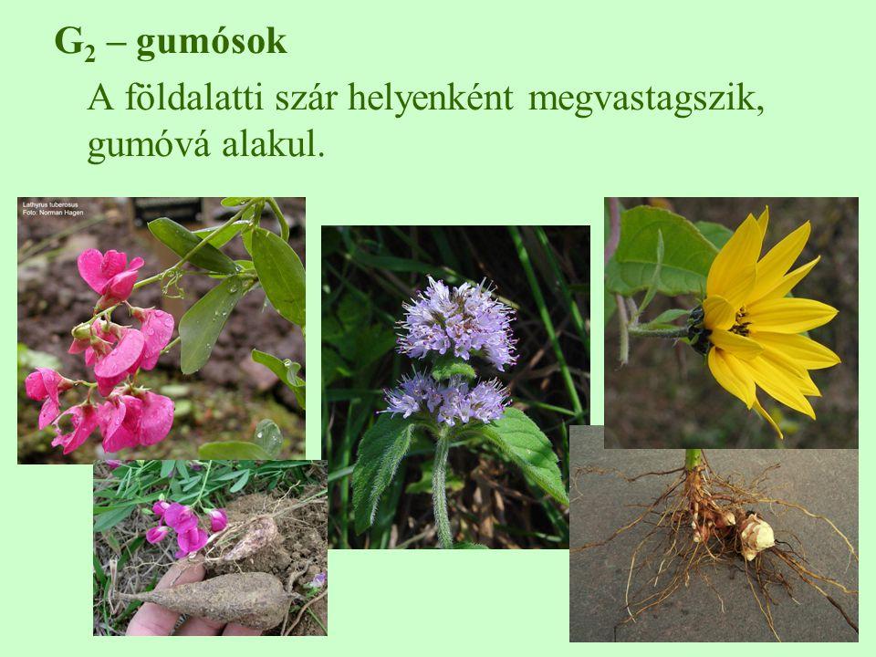 G2 – gumósok A földalatti szár helyenként megvastagszik, gumóvá alakul.
