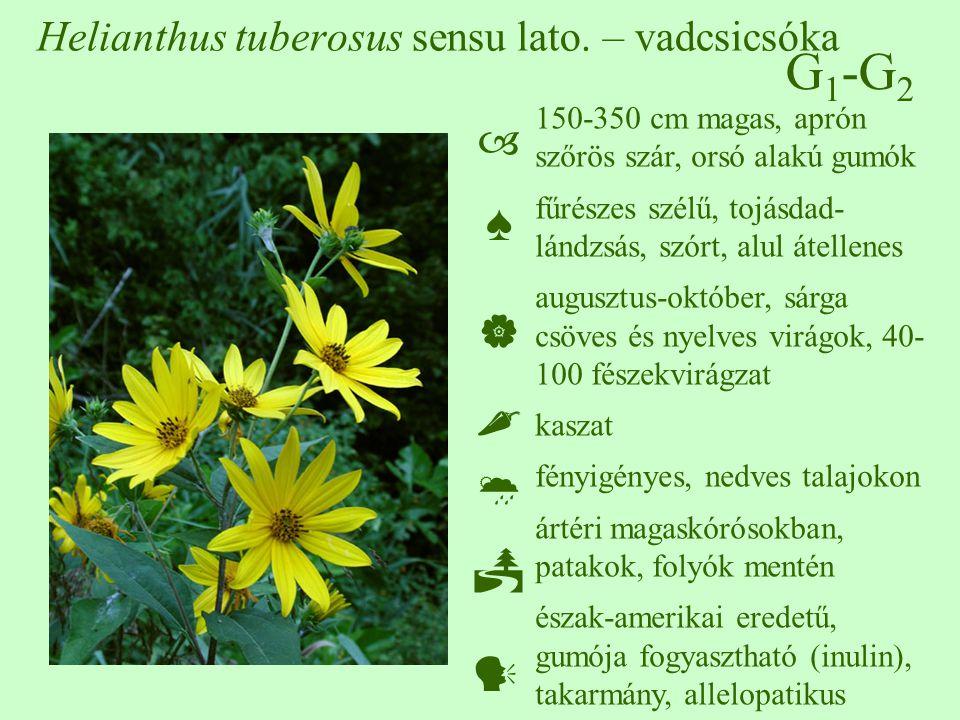 Helianthus tuberosus sensu lato. – vadcsicsóka