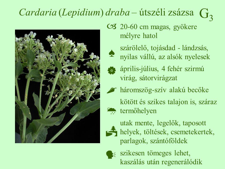 Cardaria (Lepidium) draba – útszéli zsázsa