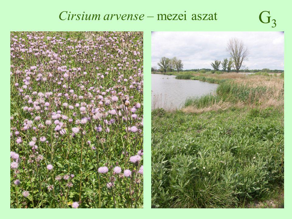 Cirsium arvense – mezei aszat