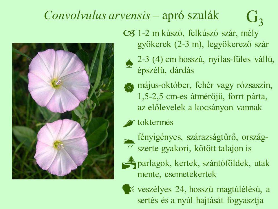 Convolvulus arvensis – apró szulák