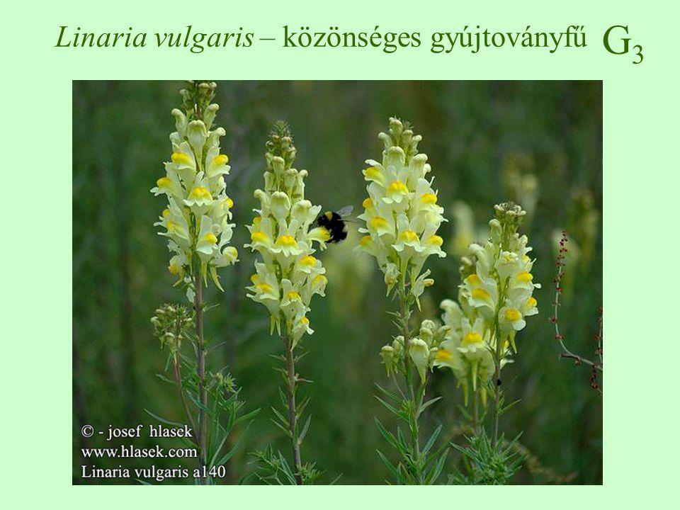 Linaria vulgaris – közönséges gyújtoványfű