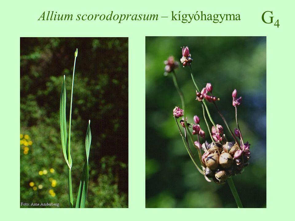 Allium scorodoprasum – kígyóhagyma
