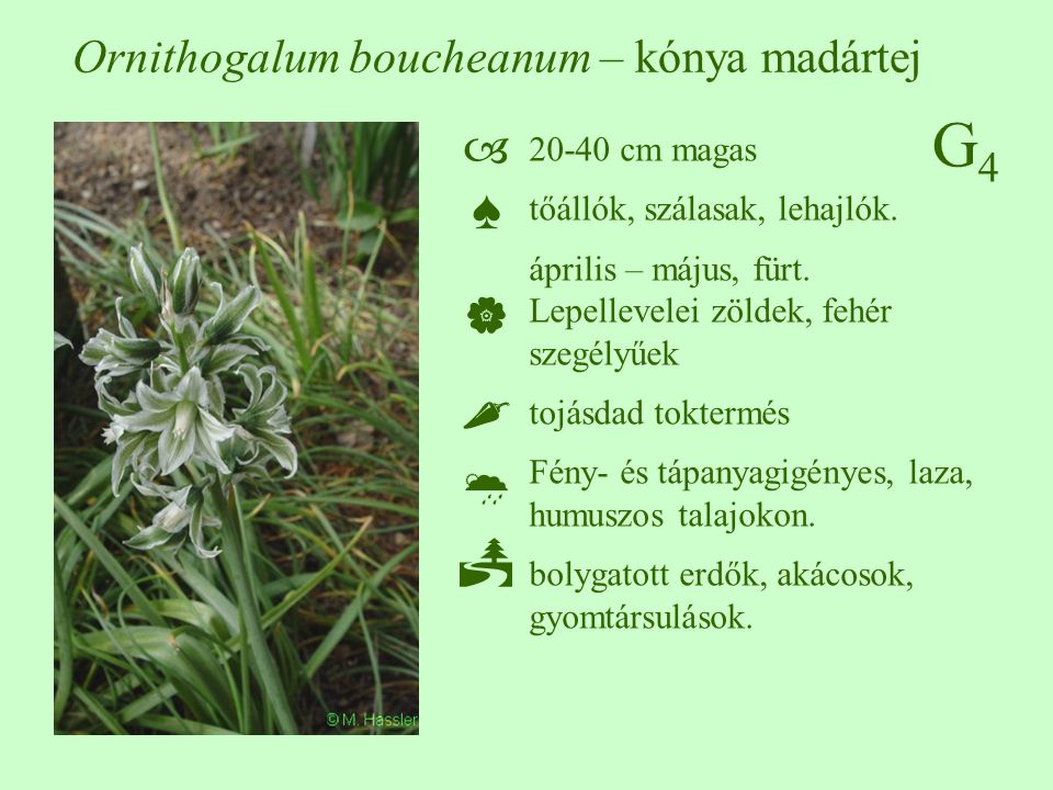Ornithogalum boucheanum – kónya madártej
