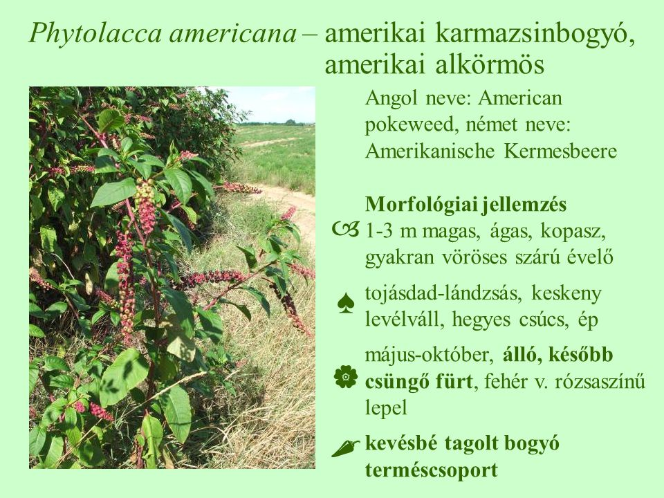Phytolacca americana – amerikai karmazsinbogyó,