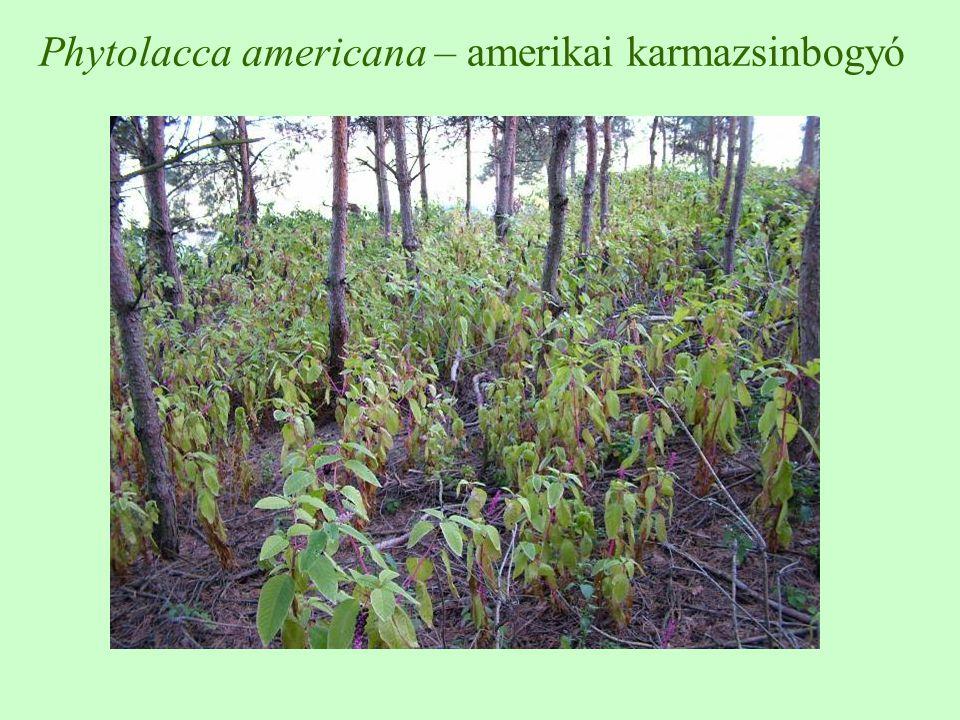 Phytolacca americana – amerikai karmazsinbogyó
