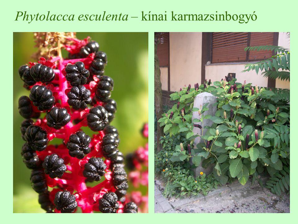 Phytolacca esculenta – kínai karmazsinbogyó
