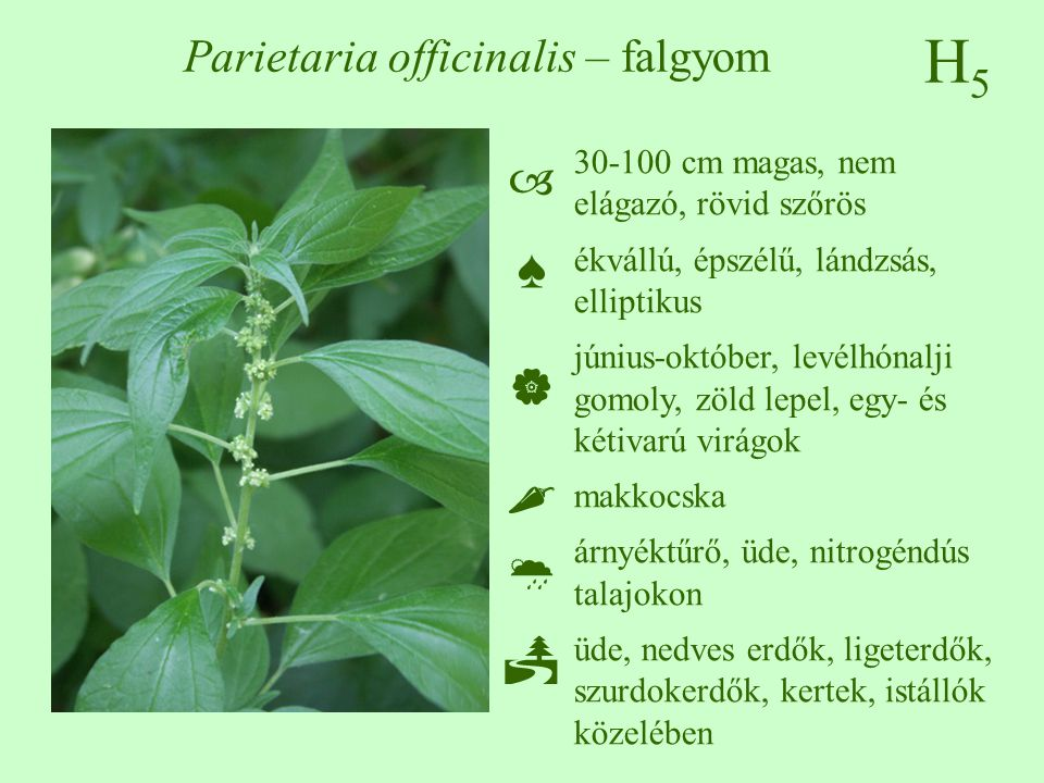 Parietaria officinalis – falgyom