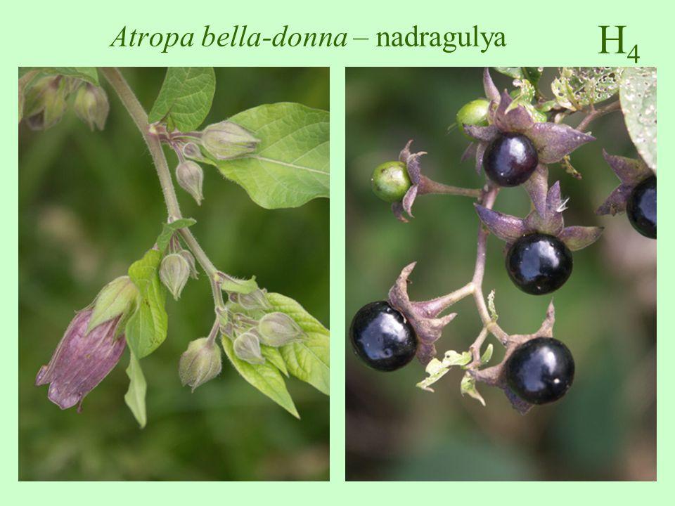 Atropa bella-donna – nadragulya