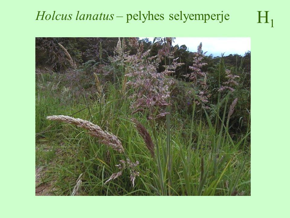 Holcus lanatus – pelyhes selyemperje