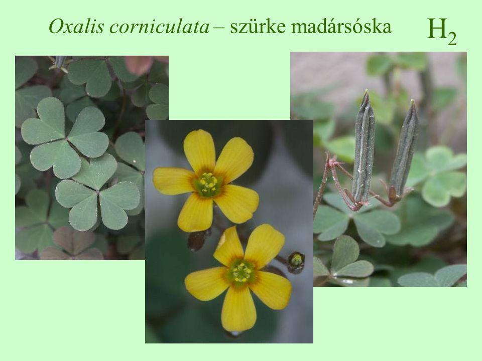 Oxalis corniculata – szürke madársóska