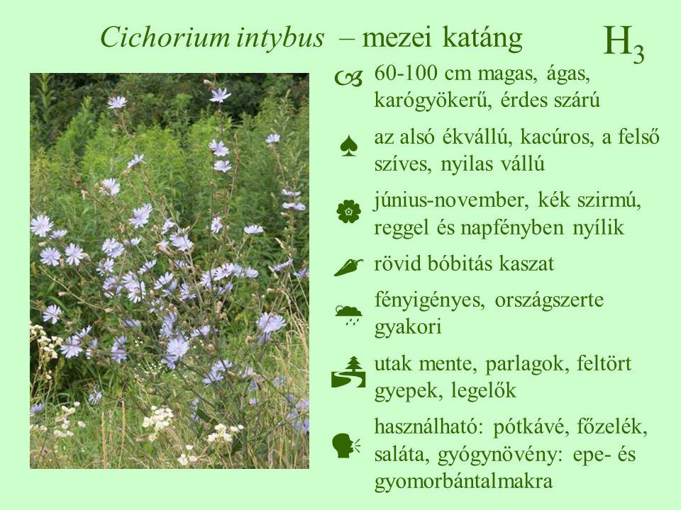 Cichorium intybus – mezei katáng