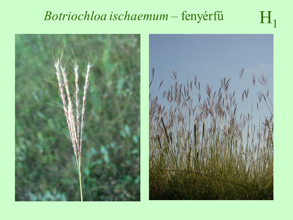 Botriochloa ischaemum – fenyérfű