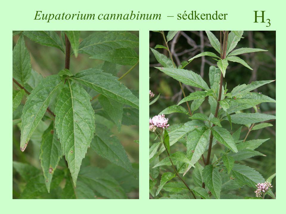 Eupatorium cannabinum – sédkender