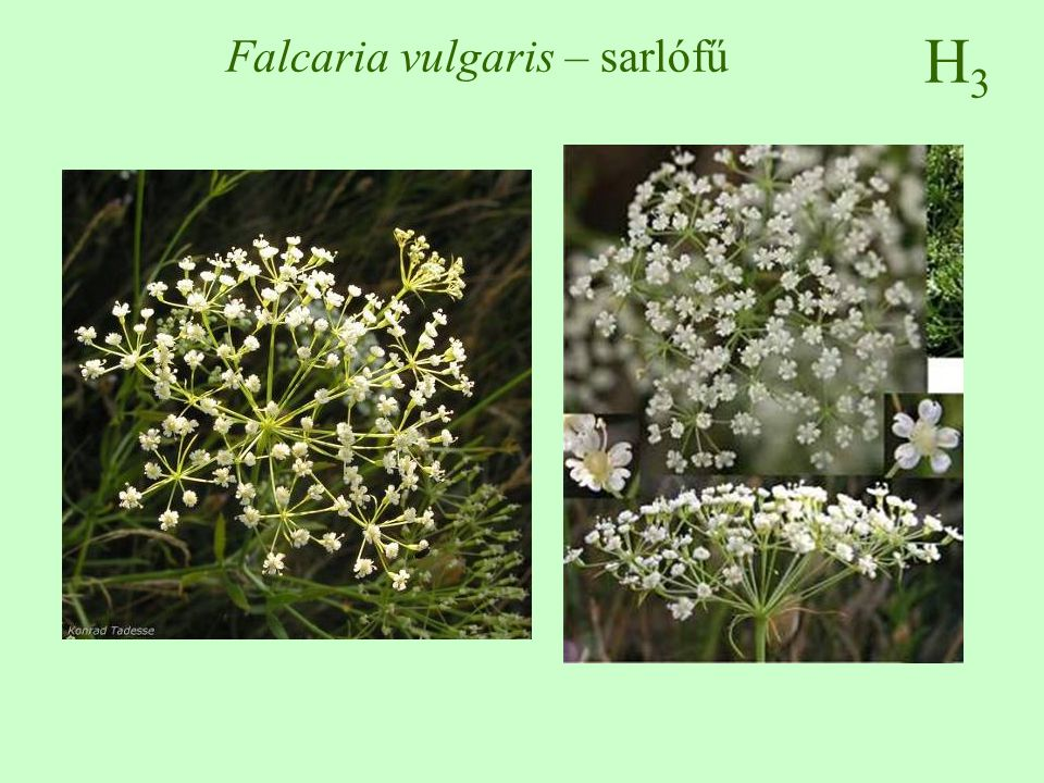 Falcaria vulgaris – sarlófű