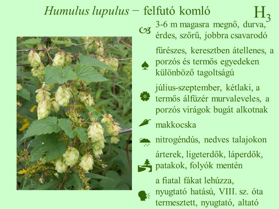 Humulus lupulus − felfutó komló
