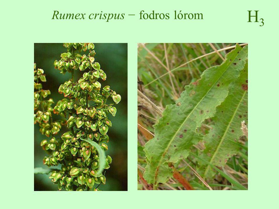 Rumex crispus − fodros lórom