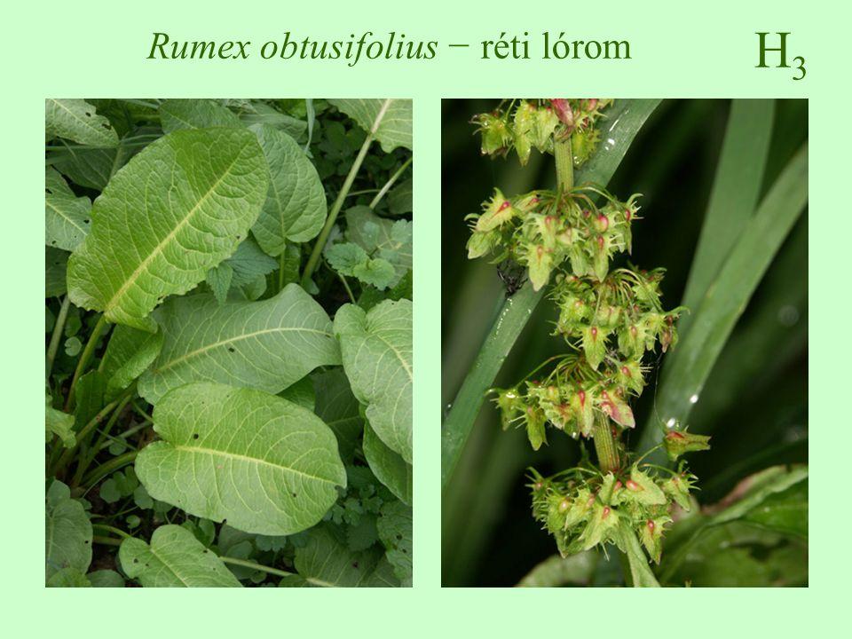 Rumex obtusifolius − réti lórom