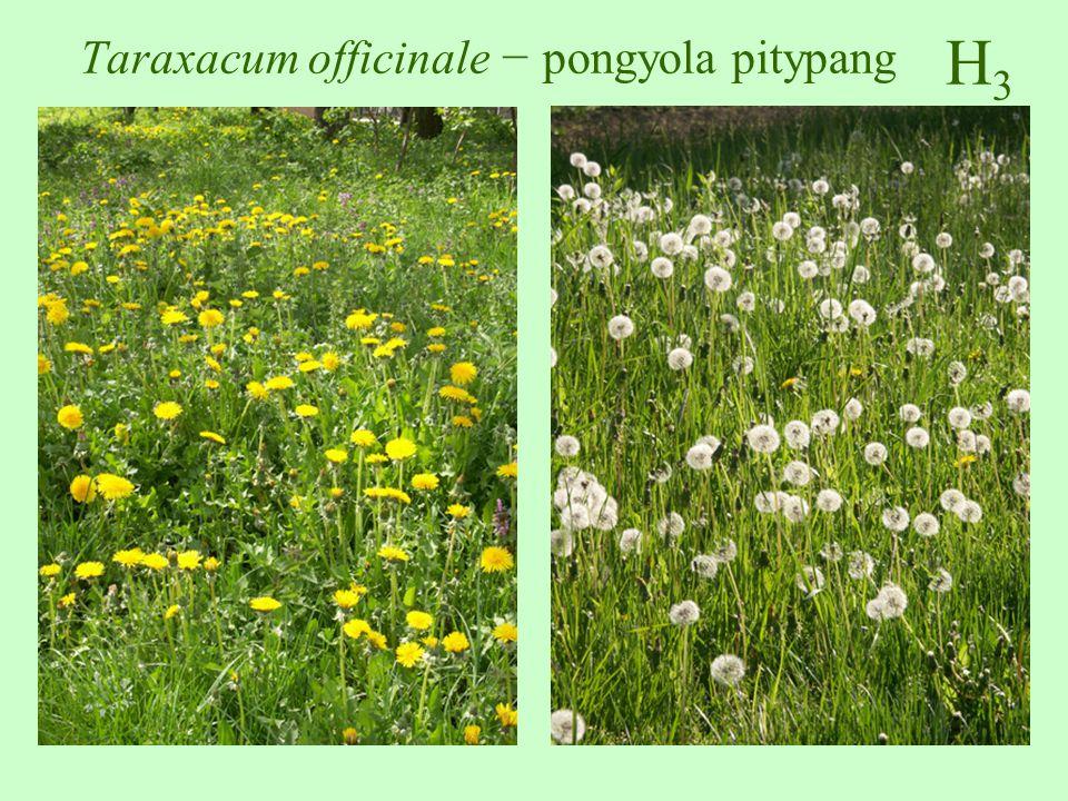 Taraxacum officinale − pongyola pitypang
