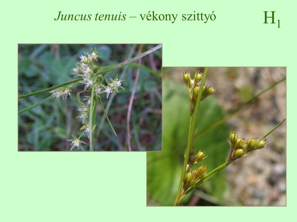 Juncus tenuis – vékony szittyó