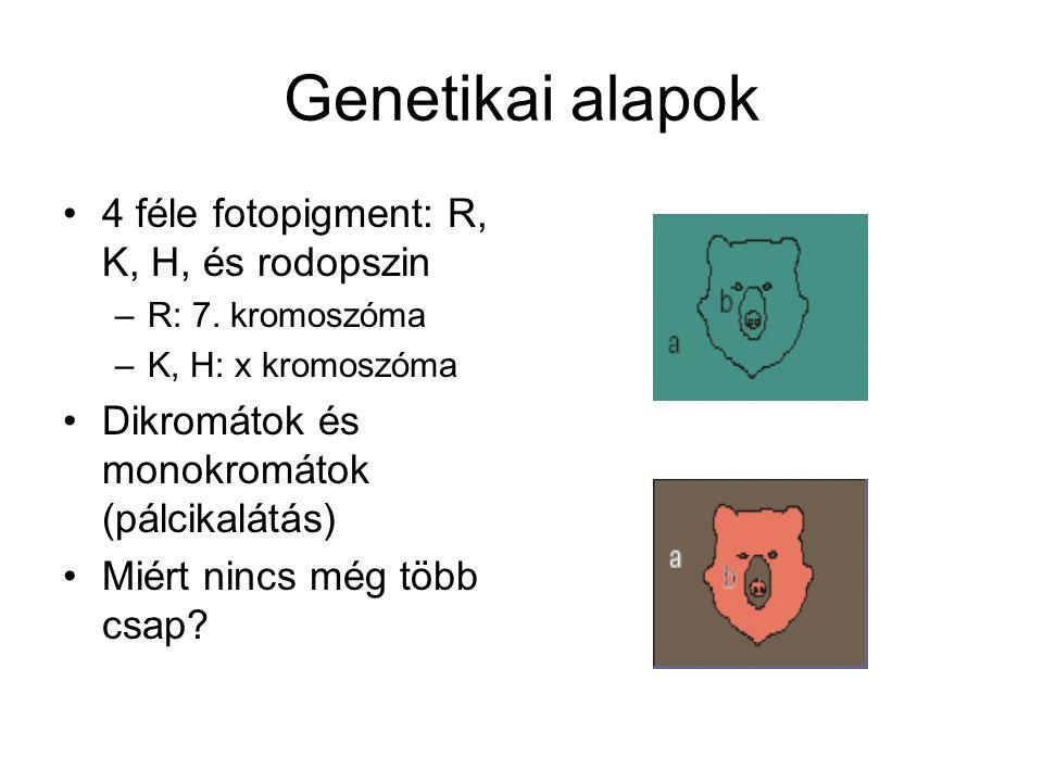 Genetikai alapok 4 féle fotopigment: R, K, H, és rodopszin