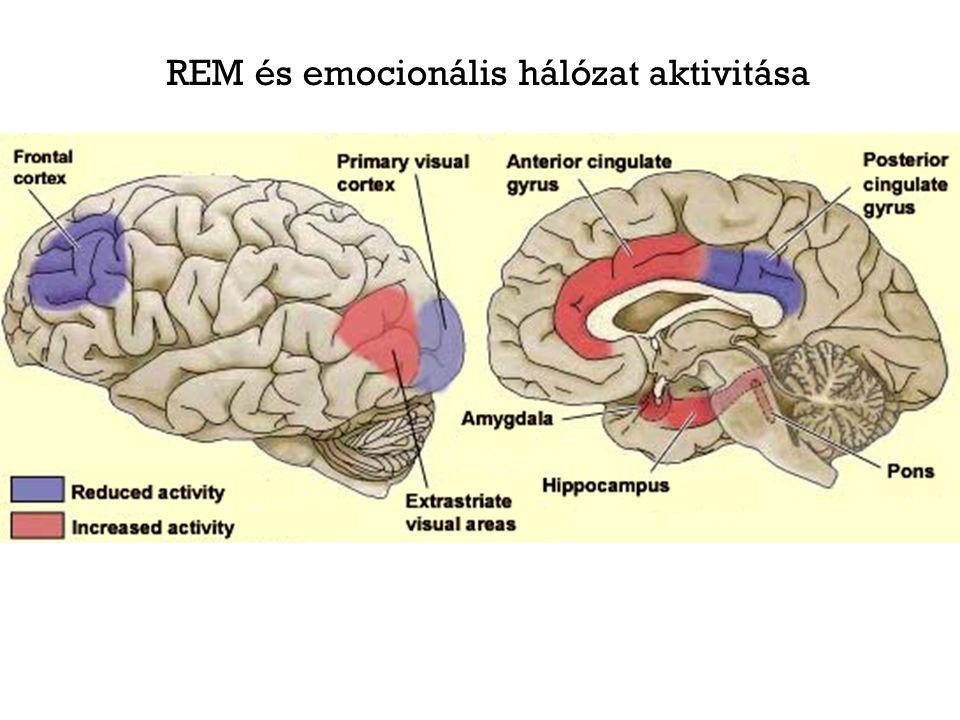 REM és emocionális hálózat aktivitása