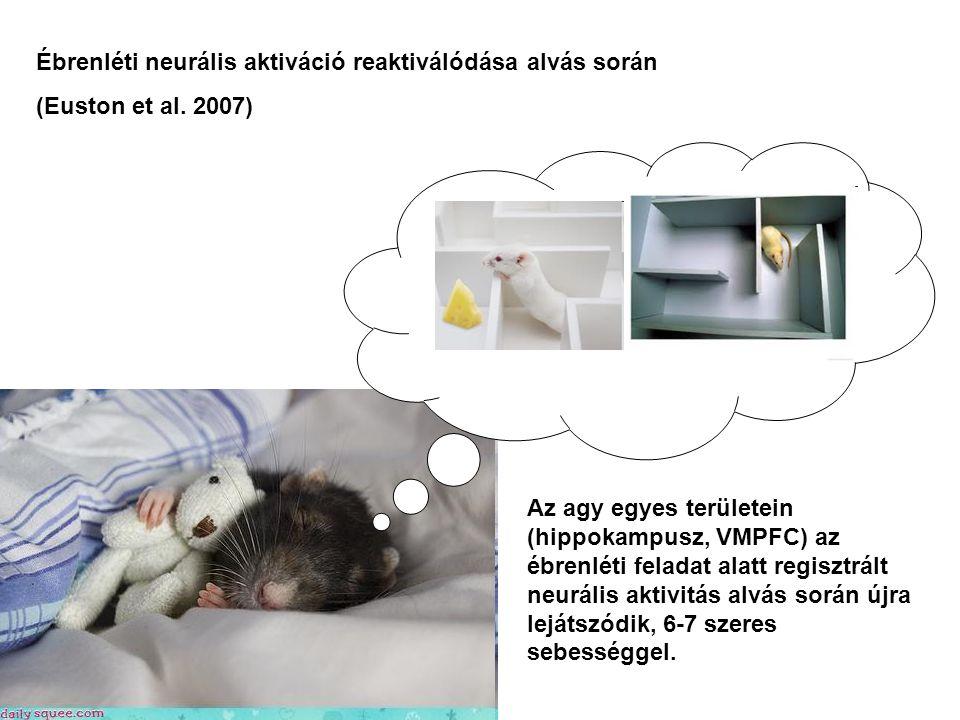 Ébrenléti neurális aktiváció reaktiválódása alvás során