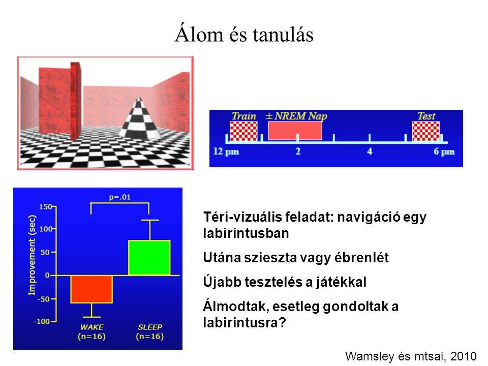 Álom és tanulás Téri-vizuális feladat: navigáció egy labirintusban