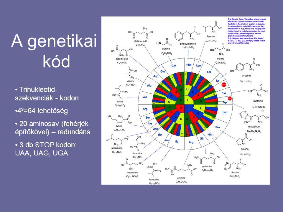 A genetikai kód Trinukleotid-szekvenciák - kodon 4³=64 lehetőség