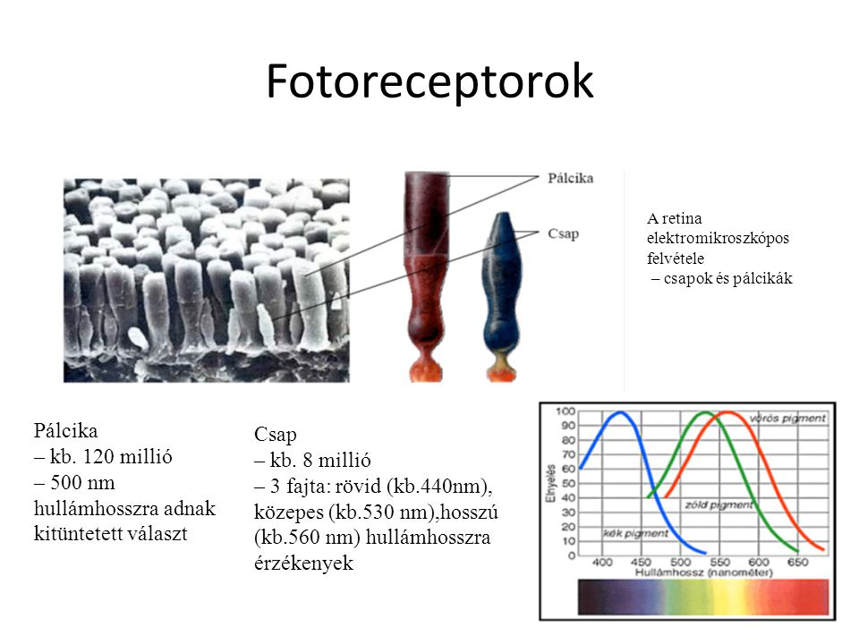 Fotoreceptorok Pálcika Csap – kb. 120 millió – kb. 8 millió