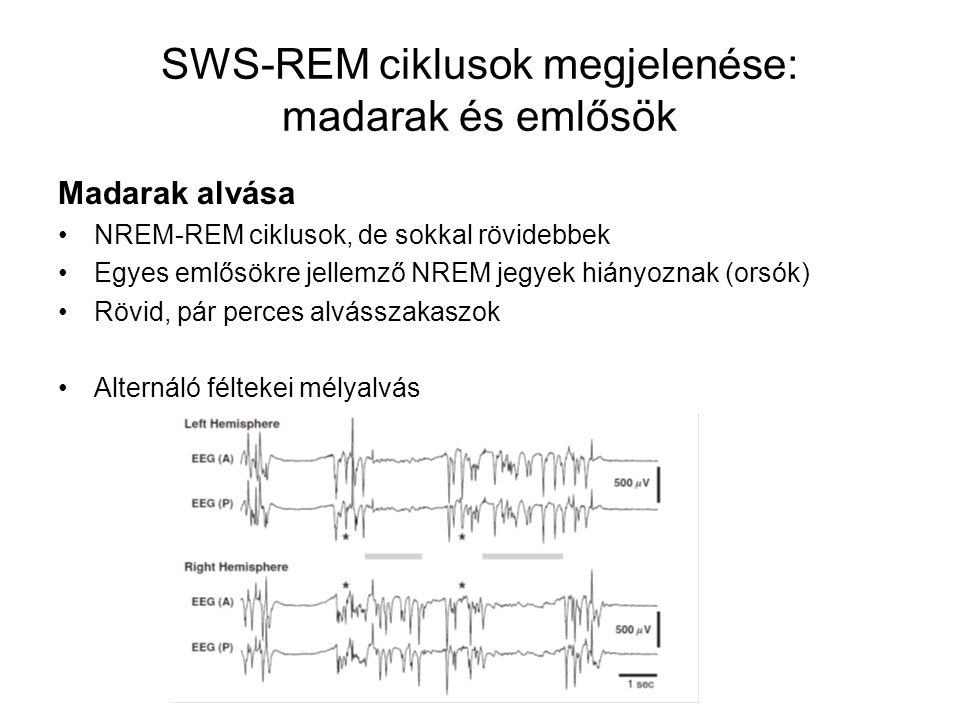 SWS-REM ciklusok megjelenése: madarak és emlősök