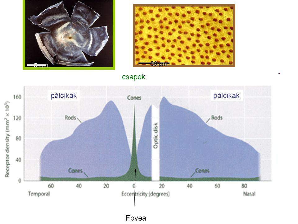 5 mm 50 µm csapok pálcikák pálcikák Fovea
