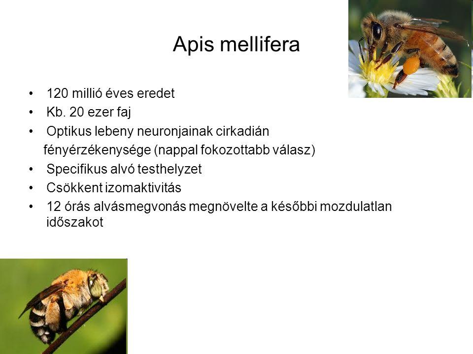 Apis mellifera 120 millió éves eredet Kb. 20 ezer faj