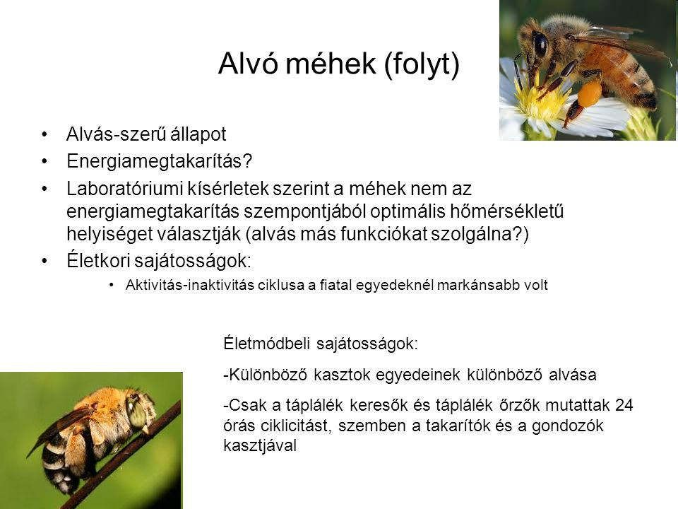 Alvó méhek (folyt) Alvás-szerű állapot Energiamegtakarítás