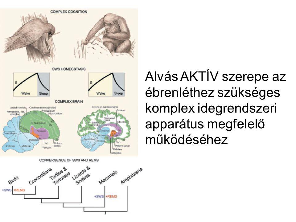 Alvás AKTÍV szerepe az ébrenléthez szükséges komplex idegrendszeri apparátus megfelelő működéséhez