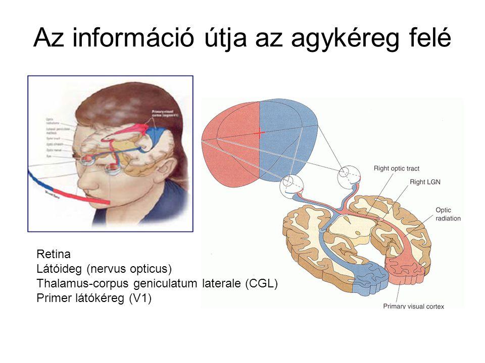 Az információ útja az agykéreg felé