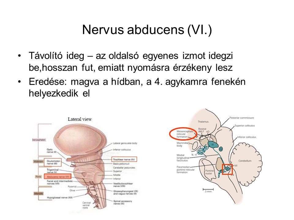 Nervus abducens (VI.) Távolító ideg – az oldalsó egyenes izmot idegzi be,hosszan fut, emiatt nyomásra érzékeny lesz.