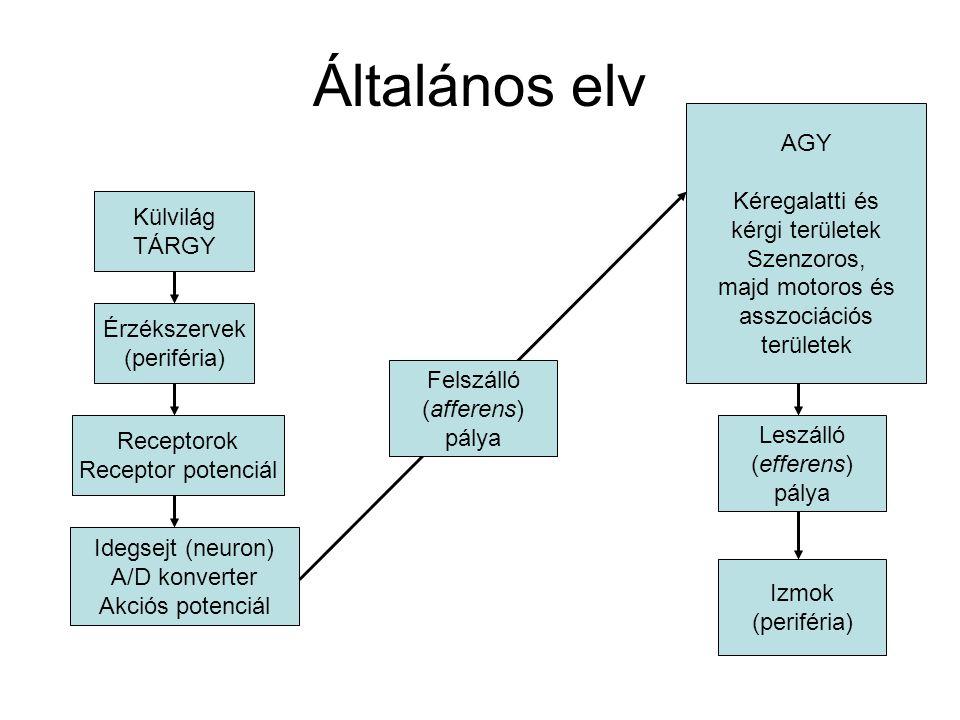 Általános elv AGY Kéregalatti és kérgi területek Szenzoros,