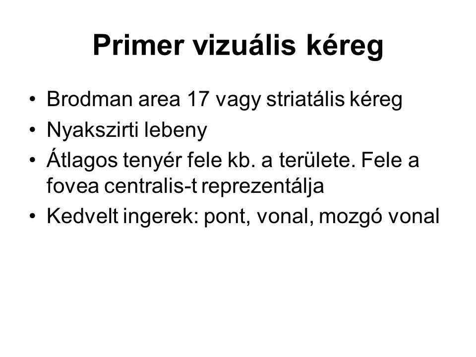 Primer vizuális kéreg Brodman area 17 vagy striatális kéreg
