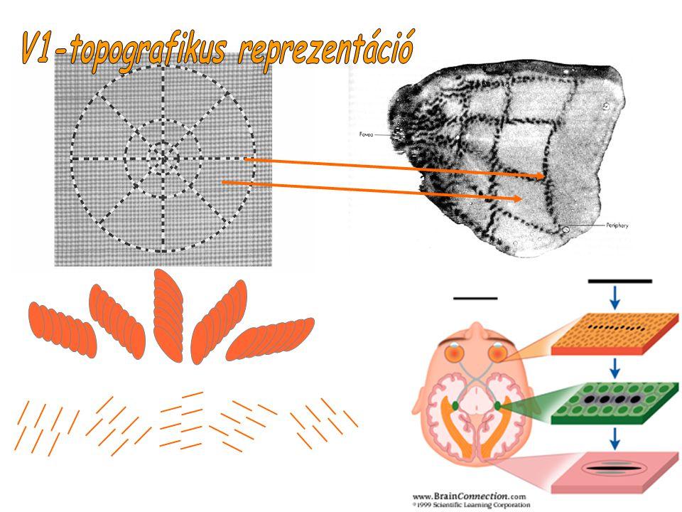V1-topografikus reprezentáció