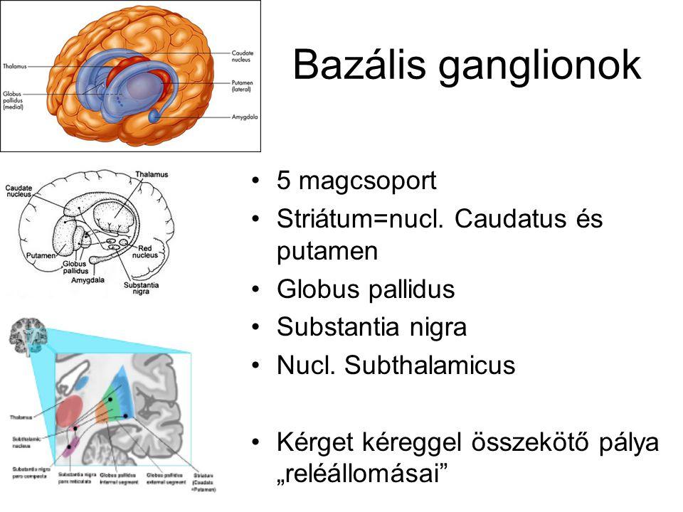 Bazális ganglionok 5 magcsoport Striátum=nucl. Caudatus és putamen