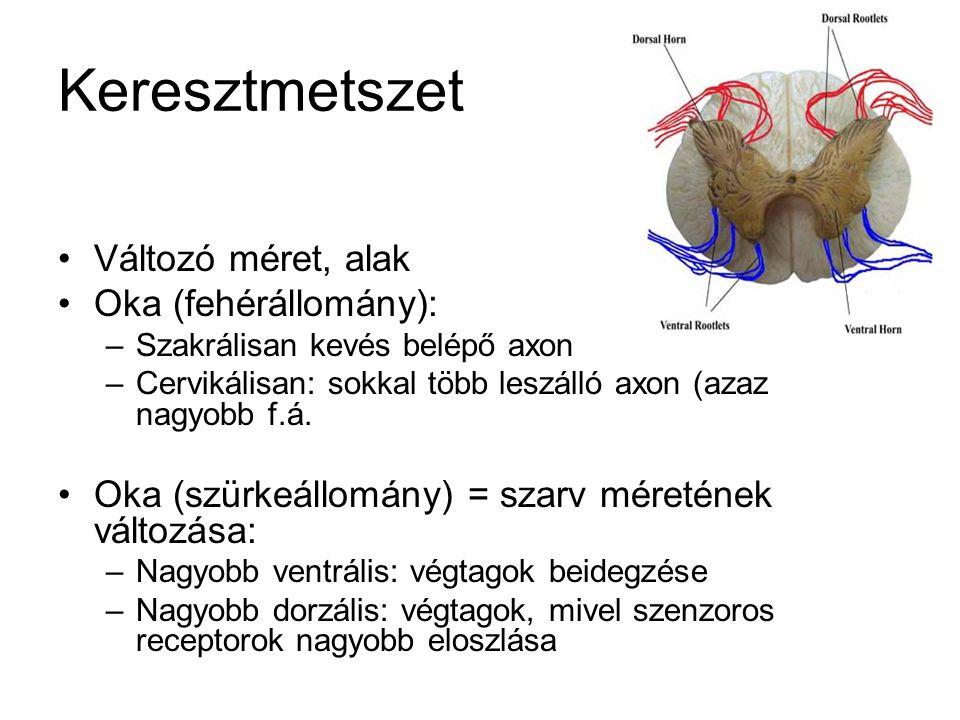Keresztmetszet Változó méret, alak Oka (fehérállomány):