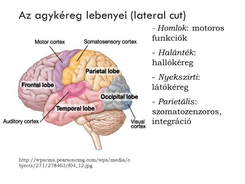 Az agykéreg lebenyei (lateral cut)