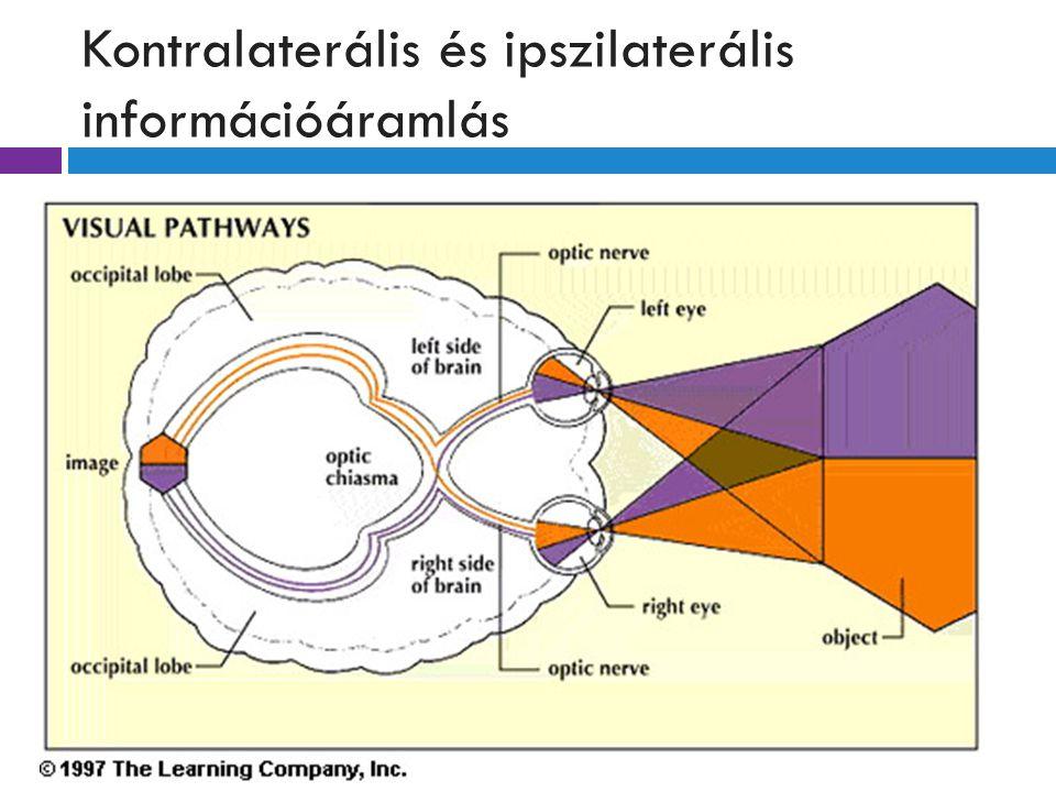Kontralaterális és ipszilaterális információáramlás