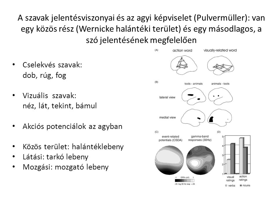A szavak jelentésviszonyai és az agyi képviselet (Pulvermüller): van egy közös rész (Wernicke halántéki terület) és egy másodlagos, a szó jelentésének megfelelően