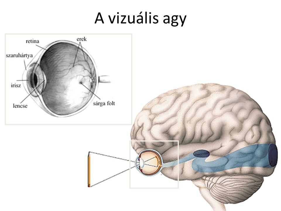 A vizuális agy