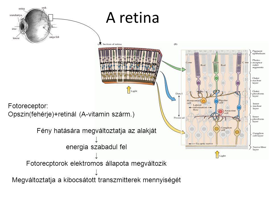 A retina Fotoreceptor: Opszin(fehérje)+retinál (A-vitamin szárm.)