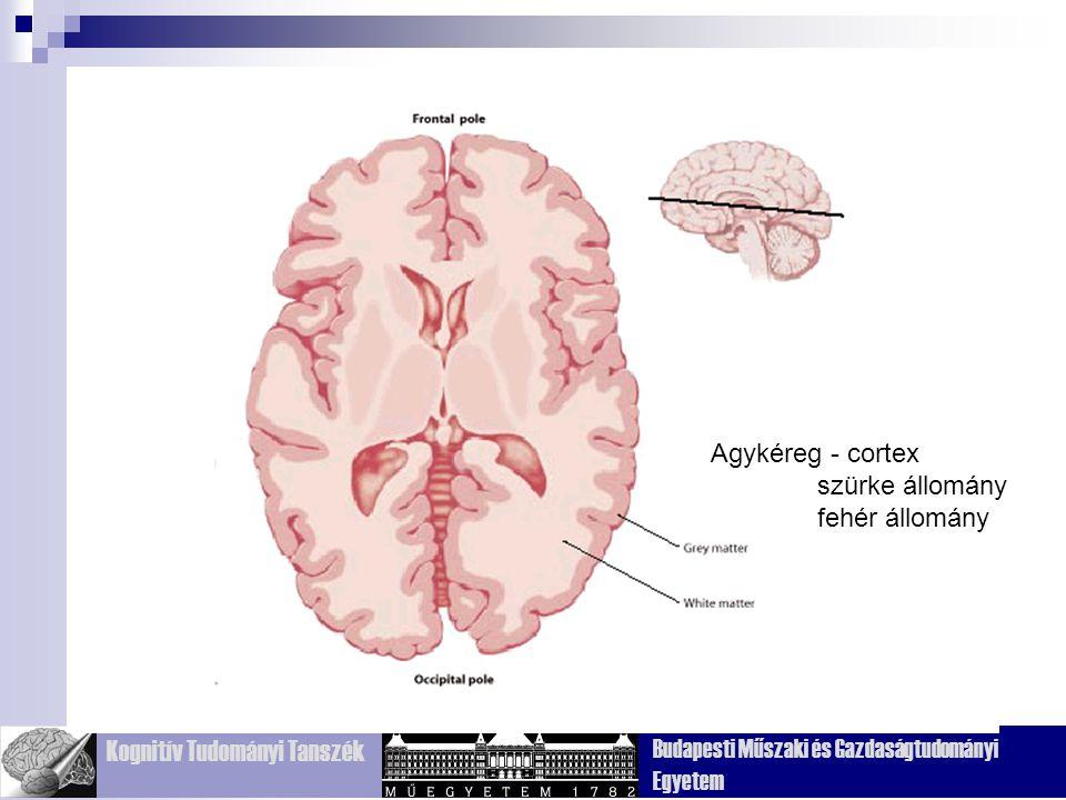 Agykéreg - cortex szürke állomány fehér állomány Fig. 2.23