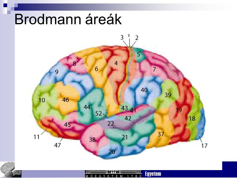 Brodmann áreák Fig. 3.7